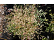Nandina domestica Twilight Noble ®