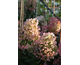 Hydrangea paniculata Tickled Pink ® First Editions