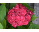 Hydrangea macrophylla Royal Red
