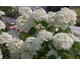 Hydrangea arborescens Strong Annabelle ® (Incrediball)