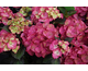 Hydrangea macrophylla Black Diamonds ® Baroque Angel