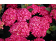 Hydrangea macrophylla Black Diamonds ® Red Angel