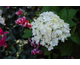 Hydrangea macrophylla Endless Summer ® The Bride