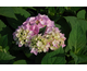 Hydrangea macrophylla Endless Summer ® The Original