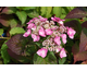 Hydrangea macrophylla Endless Summer ® Twist-n-Shout