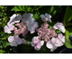 Hydrangea macrophylla Love You Kiss ®