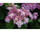 Hydrangea macrophylla Romance - serie You and Me