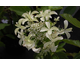 Hydrangea paniculata Great Star ®