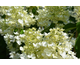 Hydrangea paniculata White Diamonds ® First Editions