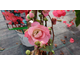 Chaenomeles speciosa Pink Storm ® PW