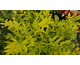 Nandina domestica Lemon Lime ®
