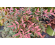 Nandina domestica Obsessed ® Noble