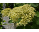 Hydrangea arborescens Lime Rickey ® PW