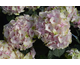 Hydrangea macrophylla Magical ® Four Seasons - Noblesse
