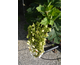 Hydrangea quercifolia Jetstream ® First Editions