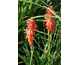 Kniphofia Red Rocket ®