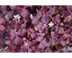 Oxalis triangularis Burgundy Wine